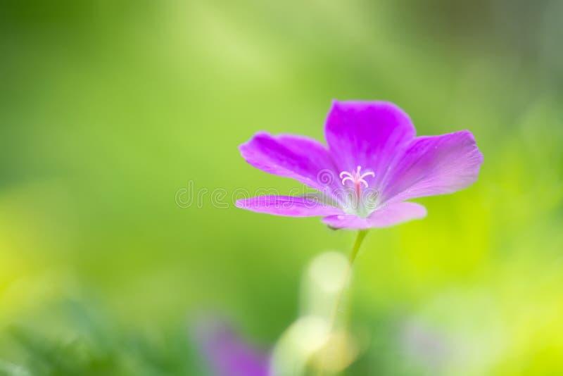 Het roze van de gebiedsgeranium Kleine roze bloemen in de weide Zachte selectieve nadruk stock foto's