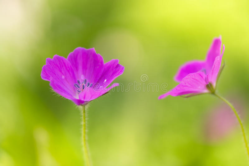Het roze van de gebiedsgeranium Kleine roze bloemen in de weide Zachte selectieve nadruk stock foto
