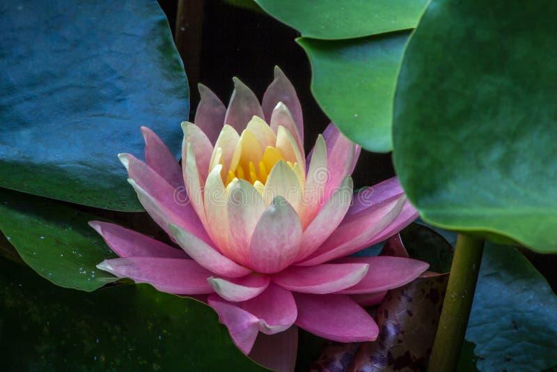 Het roze water bloeit lilly onder groene bladeren royalty-vrije stock foto's