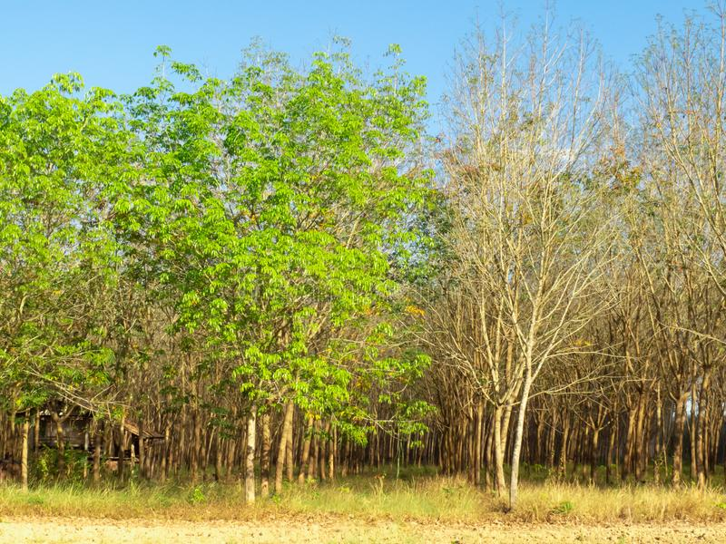 Het rubberlandbouwbedrijf is toon twee en in de herfstseizoen stock foto's
