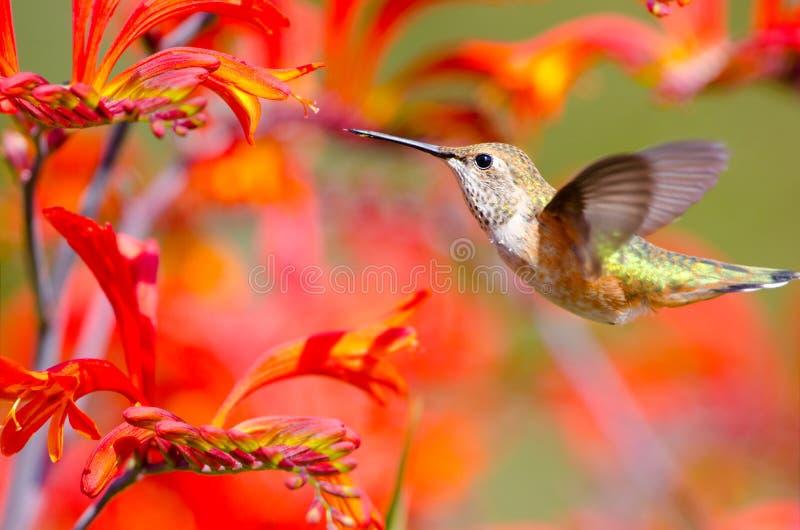 Het Rufous Kolibrie Voeden op Crocosmia-Bloemen. royalty-vrije stock foto's