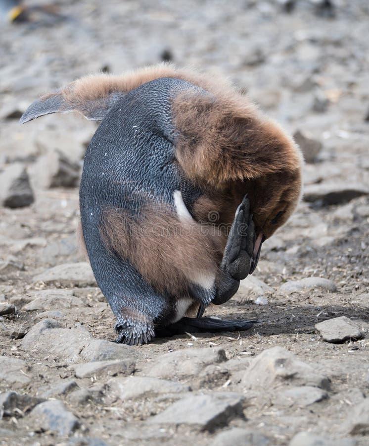 Het ruien Koning Penguin Chick Scratching Its Head stock fotografie