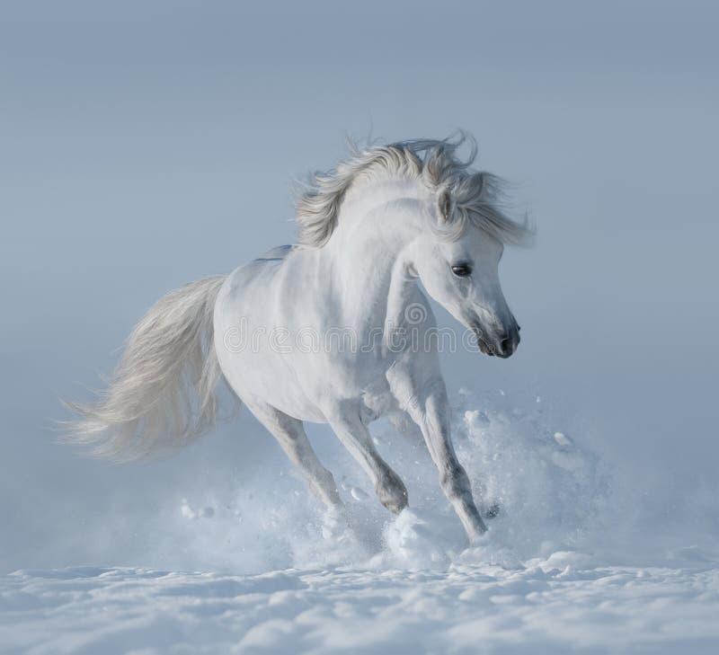 Het runnen van rasechte witte hengst op sneeuw royalty-vrije stock fotografie