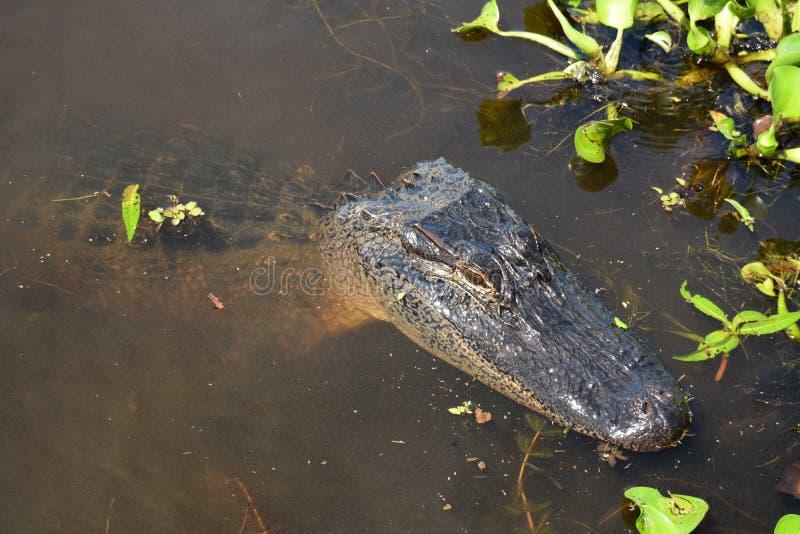 Het rusten alligator stock afbeeldingen