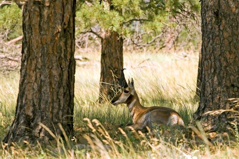 Het rusten Antilope