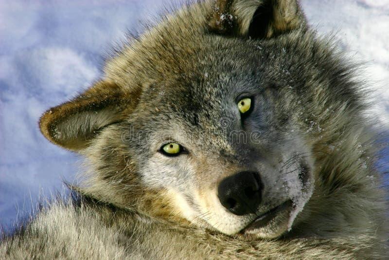 het rusten jonge grijze wolf stock foto afbeelding