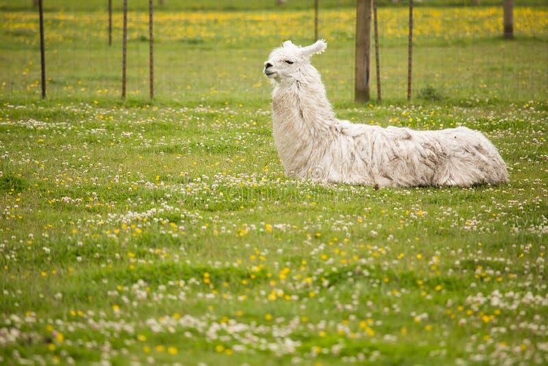 Het rusten lama royalty-vrije stock foto's