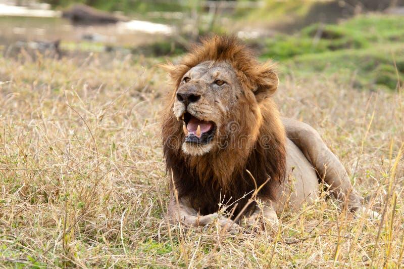 Het rusten Mannelijke Leeuw stock afbeelding