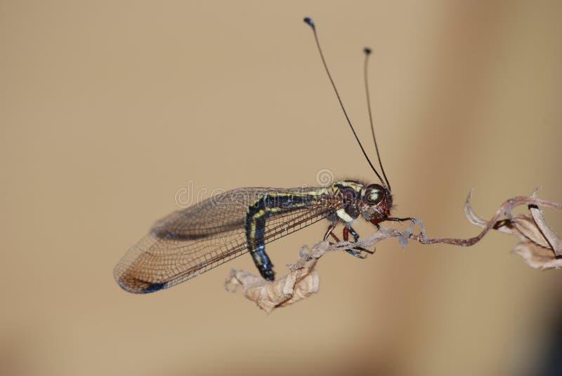 Het rusten owlfly op een blad stock fotografie