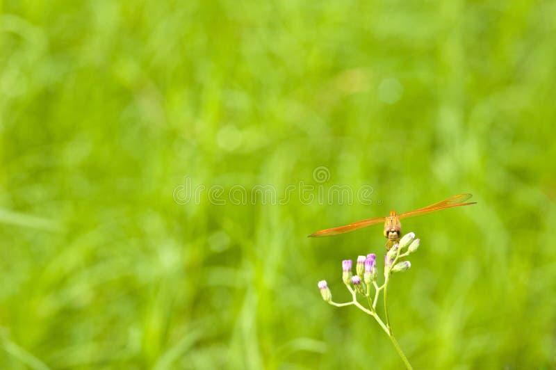 Het rusten rode libel op bloem stock fotografie