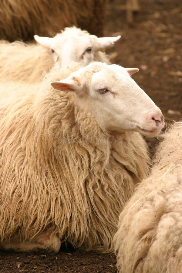 Download Het rusten schapen stock afbeelding. Afbeelding bestaande uit bont - 28381