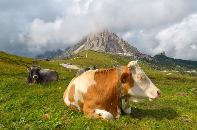 Het rusten van de koe royalty-vrije stock foto