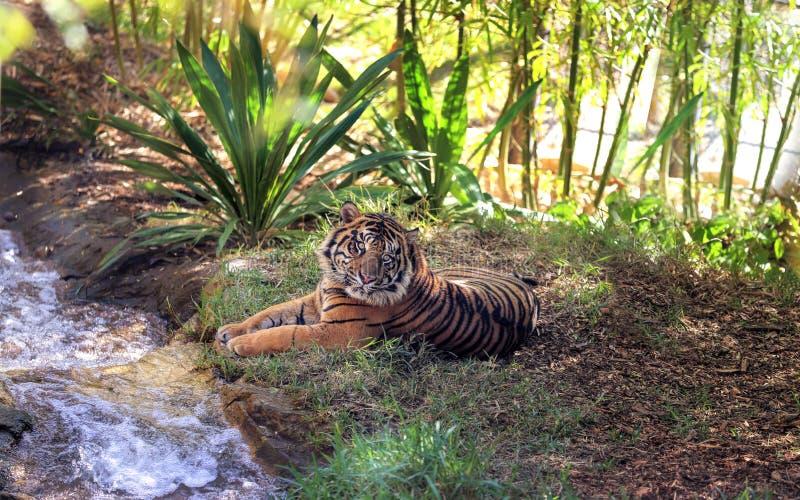 Het rusten van de tijger royalty-vrije stock foto