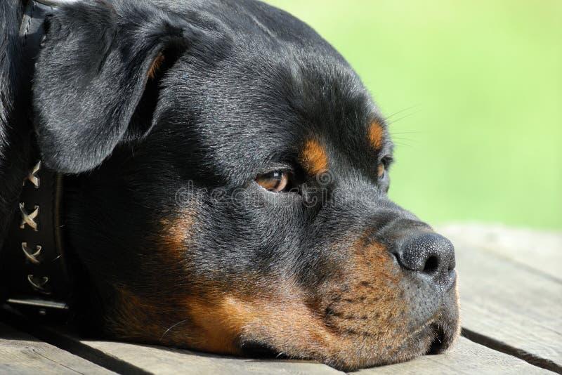 Het rusten van Rottweiler royalty-vrije stock fotografie