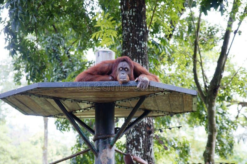 Het rusten van Utan van de orang-oetan stock fotografie