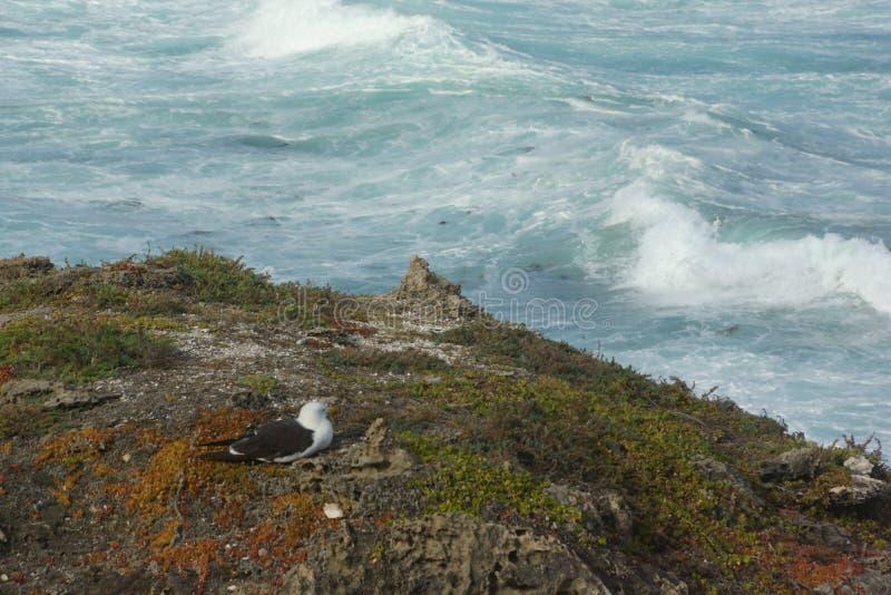 Het rusten vogel, Kangoeroeeiland, Zuid-Australië stock foto