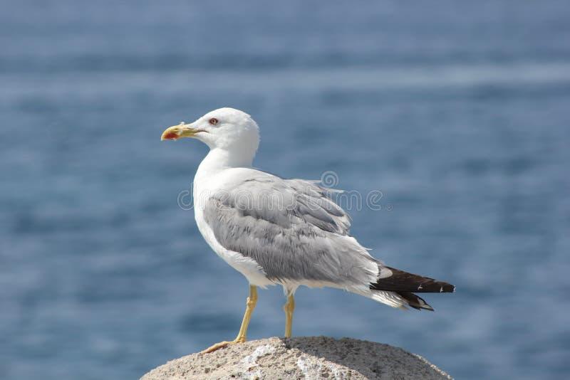 Het rusten zeemeeuw stock fotografie