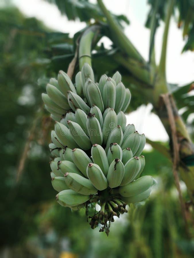 Het ruwe Bananenbos Hangen op de Boom, de Mooie Zomer Veggies royalty-vrije stock afbeeldingen