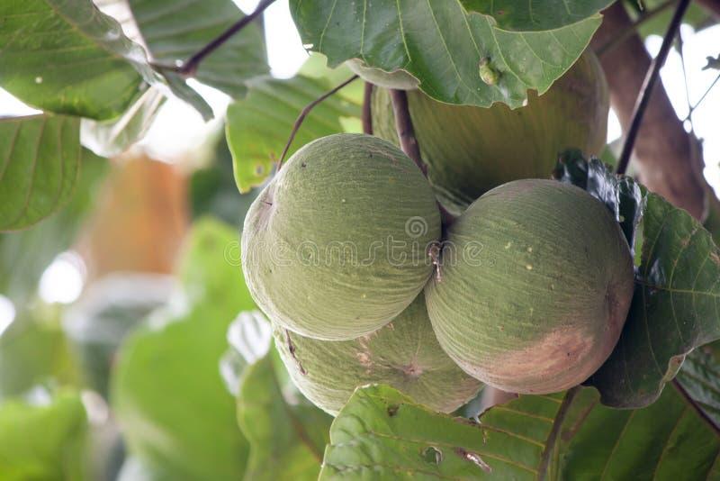 Het ruwe fruit Sandoricum van Santol of Sentul-koetjape op boom royalty-vrije stock afbeeldingen