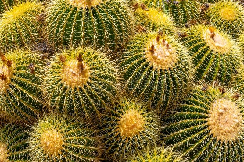Het samendoen van Barrell-Cactus royalty-vrije stock afbeelding