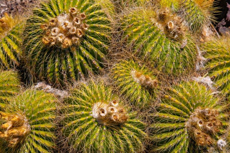 Het samendoen van Barrell-Cactus royalty-vrije stock fotografie