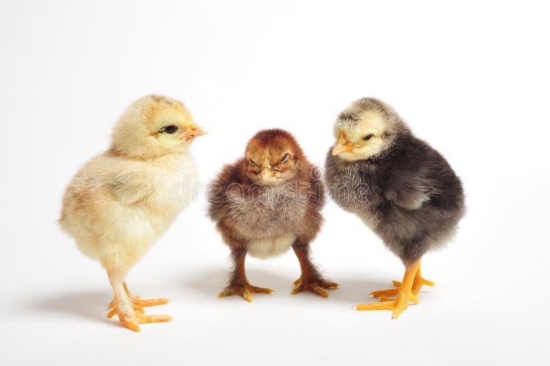 Het samenkomen van kippen royalty-vrije stock foto