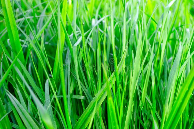 Het sappige niet natte groene gras groeien, vers gras royalty-vrije stock fotografie