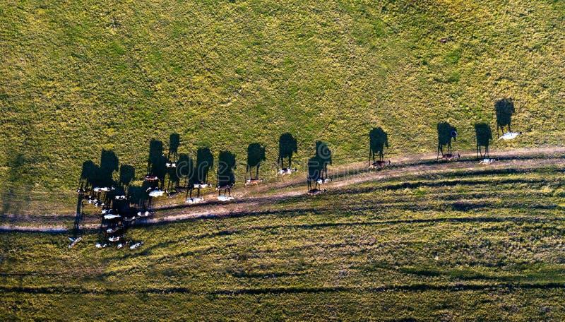 Het satellietbeeld van groep koeien op landelijk weiland in avondlicht met dramatische schaduw kijkt als Salvador Dali-beeld royalty-vrije stock afbeelding