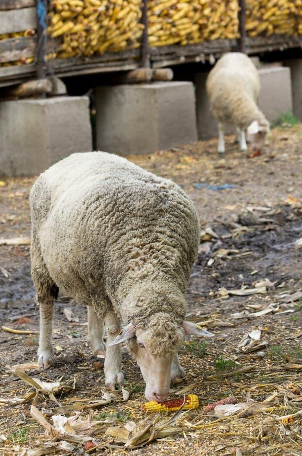 Het schaap eet graan stock foto's