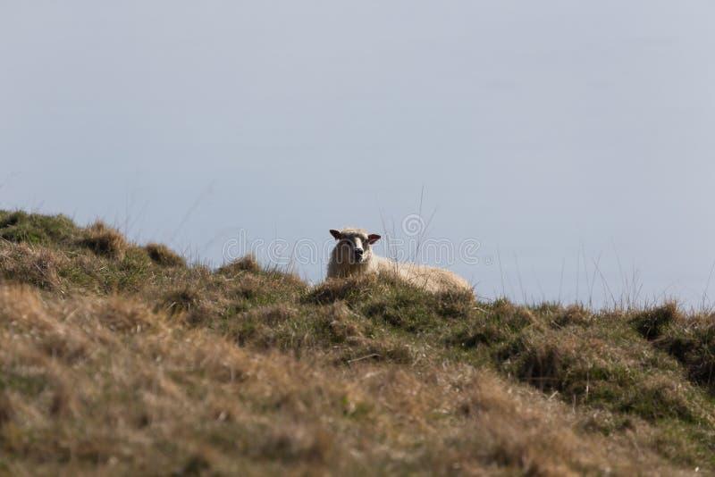 Het schaap ligt op een geel de herfstgras op een heuvel stock fotografie