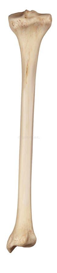het scheenbeen vector illustratie