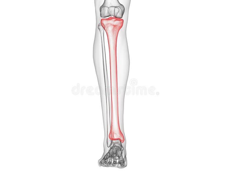 Het scheenbeenbeen vector illustratie