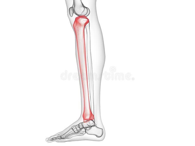 Het scheenbeenbeen stock illustratie