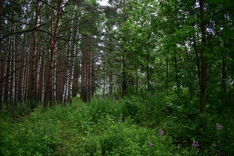 Het schilderachtige gemengde bos vergankelijke bosgras en de bloemen van de berkpijnboom stock afbeeldingen