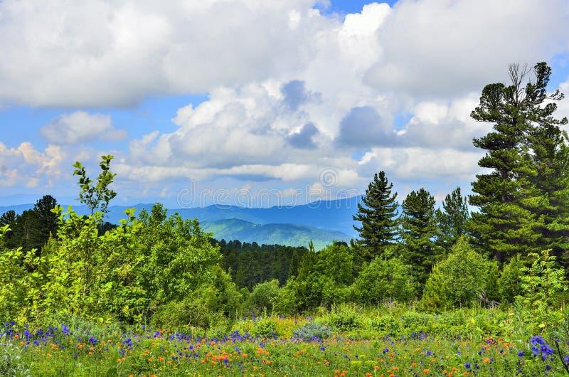 Het schilderachtige landschap van de bergzomer met bloeiende alpiene weide bij zonnige dag royalty-vrije stock afbeeldingen
