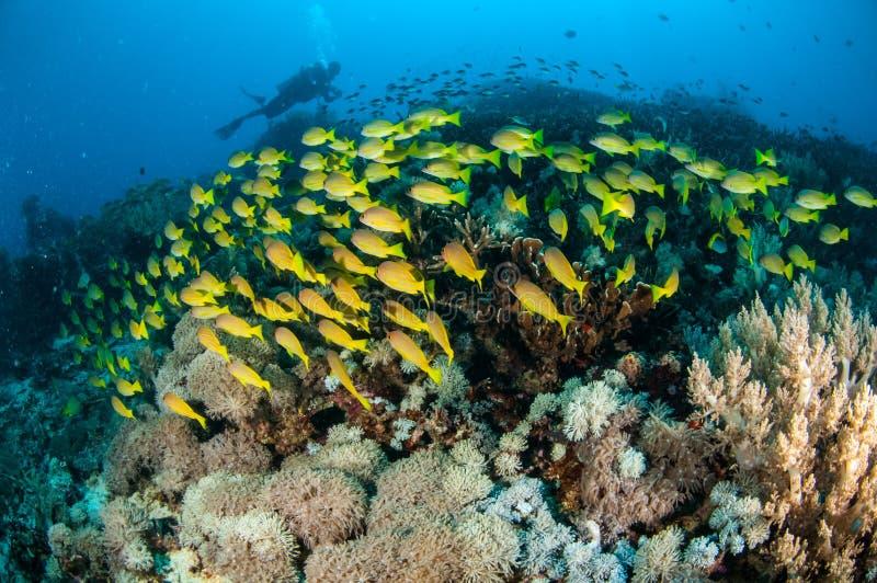 Het scholen bluestripe snapper kasmira van Lutjanus in Gili, Lombok, Nusa Tenggara Barat, de onderwaterfoto van Indonesië stock foto