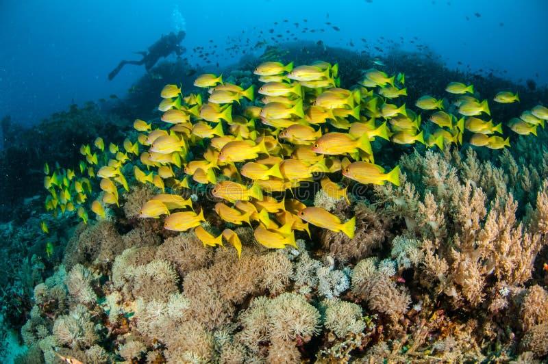 Het scholen bluestripe snapper kasmira van Lutjanus in Gili, Lombok, Nusa Tenggara Barat, de onderwaterfoto van Indonesië royalty-vrije stock fotografie