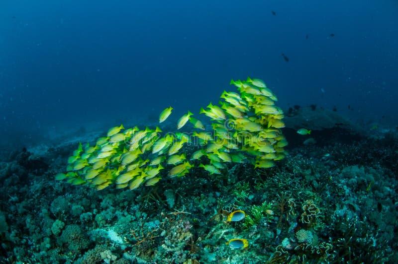 Het scholen van bluestripesnapper kasmira die van Lutjanus in Gili, Lombok, Nusa Tenggara Barat, de onderwaterfoto van Indonesië  stock fotografie