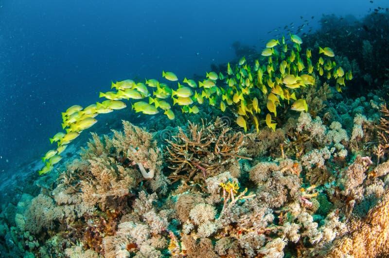 Het scholen van bluestripesnapper kasmira van Lutjanus in Gili, Lombok, Nusa Tenggara Barat, de onderwaterfoto van Indonesië stock foto