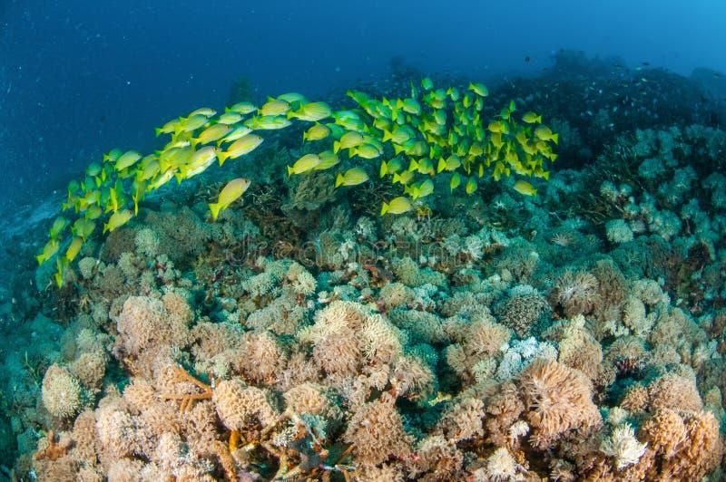 Het scholen van bluestripesnapper kasmira van Lutjanus in Gili, Lombok, Nusa Tenggara Barat, de onderwaterfoto van Indonesië royalty-vrije stock foto
