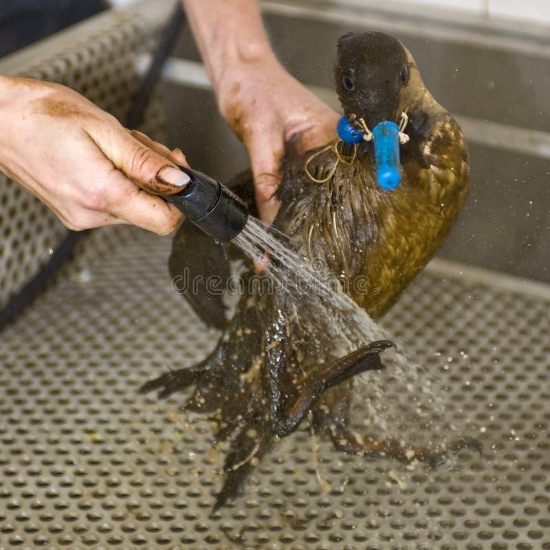 Het schoonmaken van een olievogel