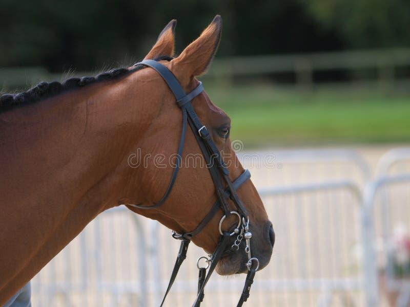 Download Het Schot Van Het Hoofd Van Het Paard Stock Afbeelding - Afbeelding bestaande uit schoonheid, teugel: 29510613