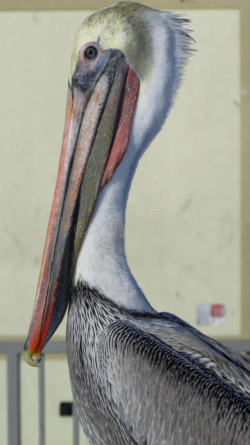 Het schot van het pelikaanprofiel stock afbeelding