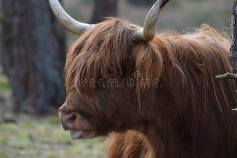 Het Schotse beeld van het Hooglanderprofiel stock foto