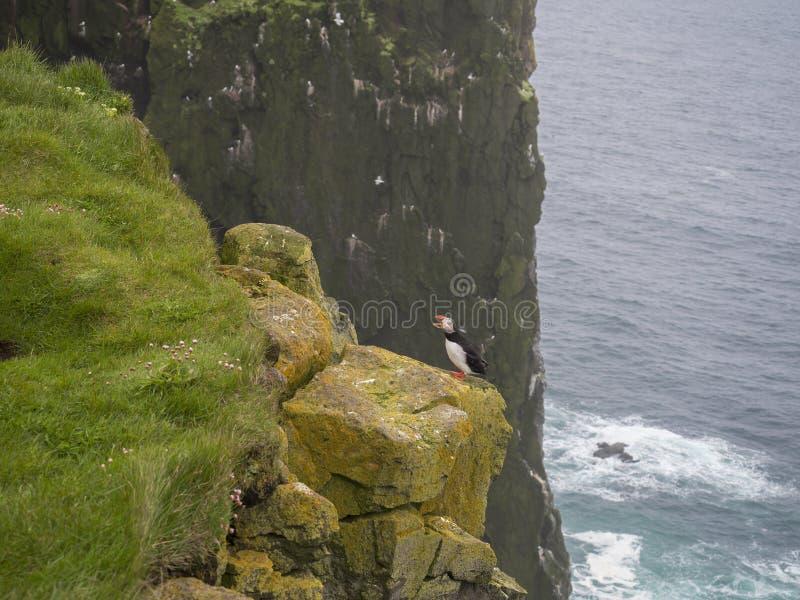 Het schreeuwen Atlantische arctica die van papegaaiduikerfratercula zich op rots van Latrabjarg-vogelklippen bevinden, stock afbeelding