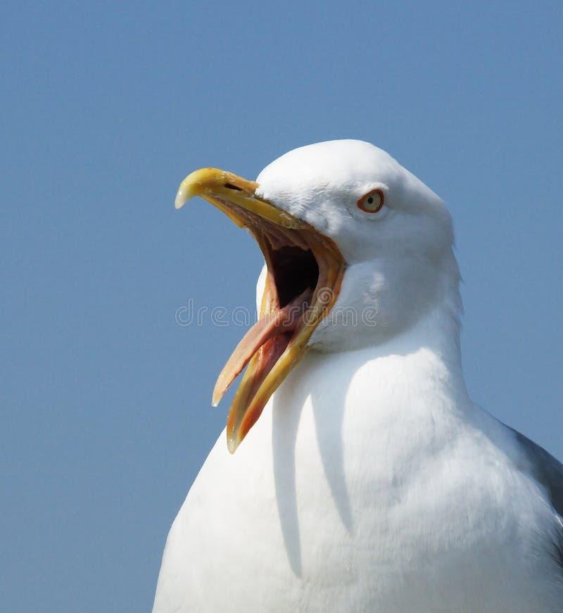 Het schreeuwen zeemeeuwclose-up stock foto's