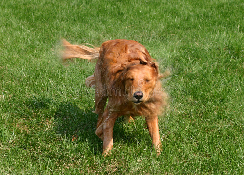 Het Schudden Van De Hond Stock Fotografie
