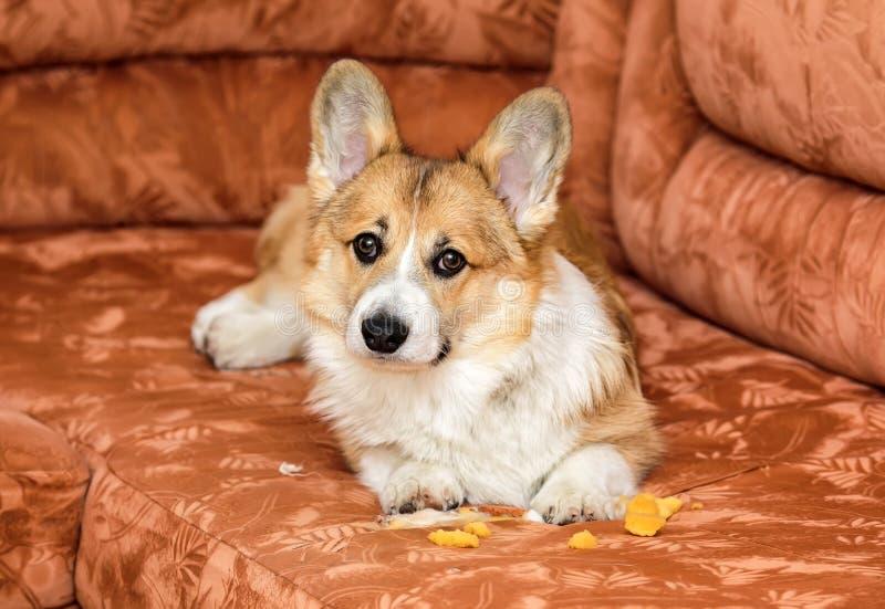 het schuldige rode hondpuppy Corgi ligt op de laag en scheurde en nam het schuimrubber van het meubilair royalty-vrije stock afbeelding