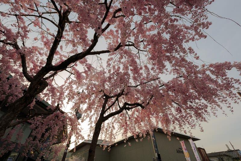 Het seizoen van de de kersenbloesem van Japan ` s royalty-vrije stock afbeeldingen