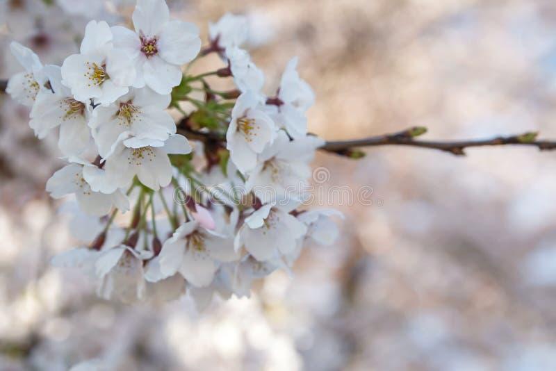 Het seizoen van de kersenbloesem in Japan royalty-vrije stock foto's